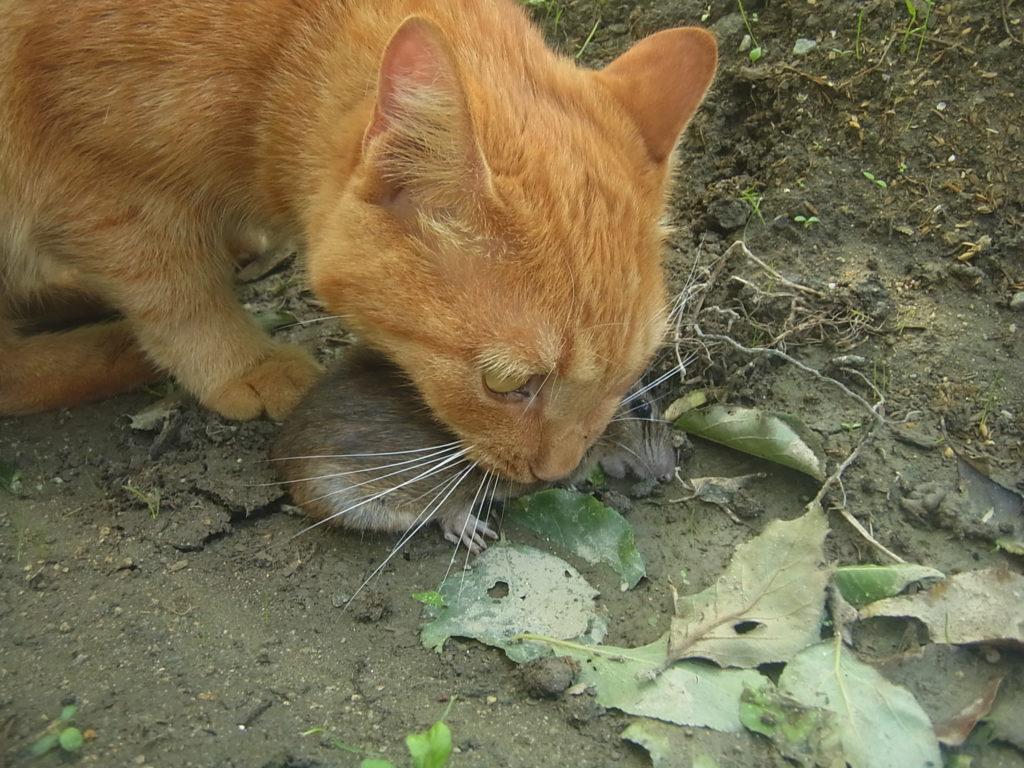 茶トラ猫、大きなネズミを捕まえてくる。