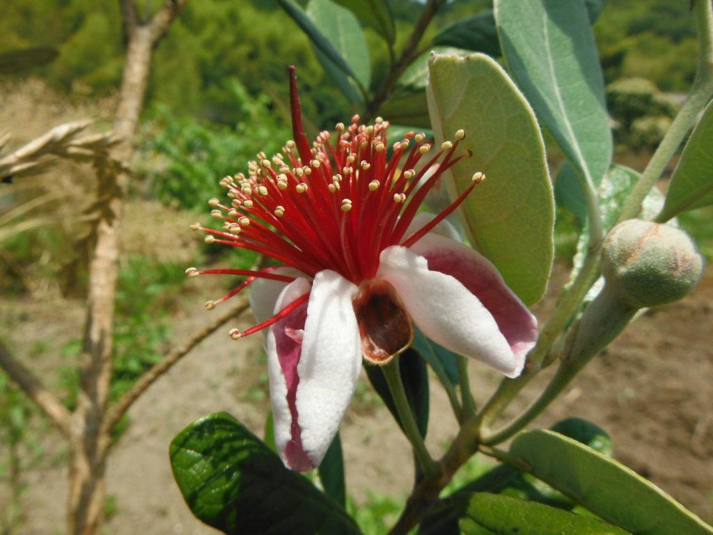 フェイジョアの花。