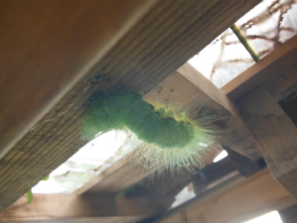 クスサンの幼虫が移動。