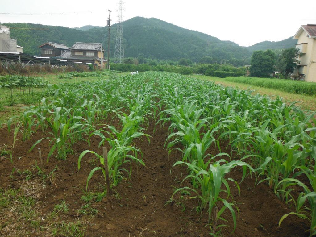 トウモロコシの栽培。