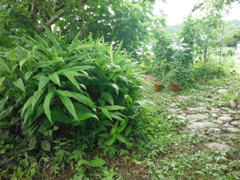 木陰でミョウガを栽培。