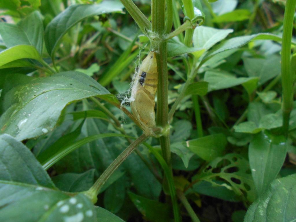 キアゲハの蛹の抜け殻。