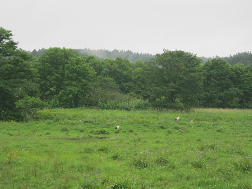 別寒辺牛湿原あたりで、タンチョウ発見。