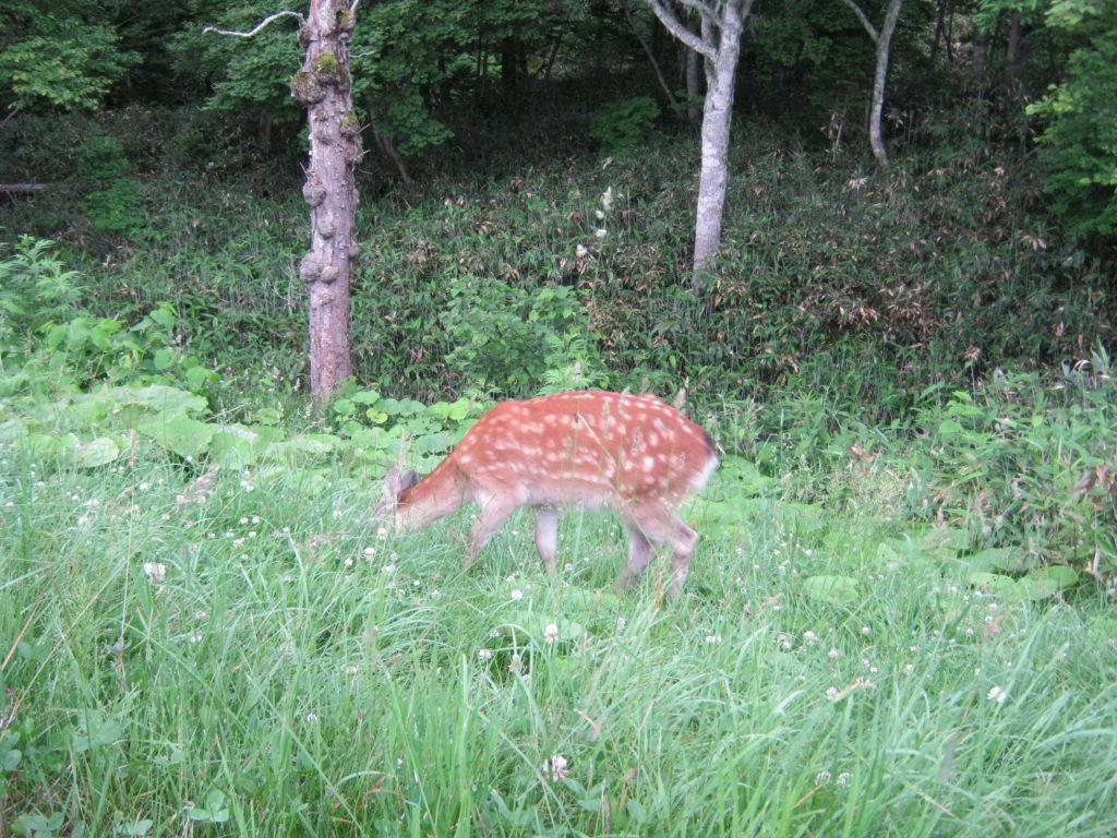 知床峠の鹿。