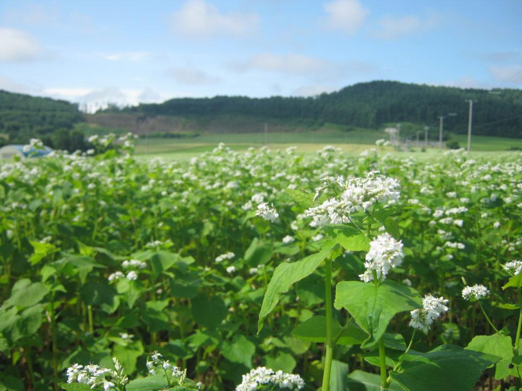 北海道のソバ畑。