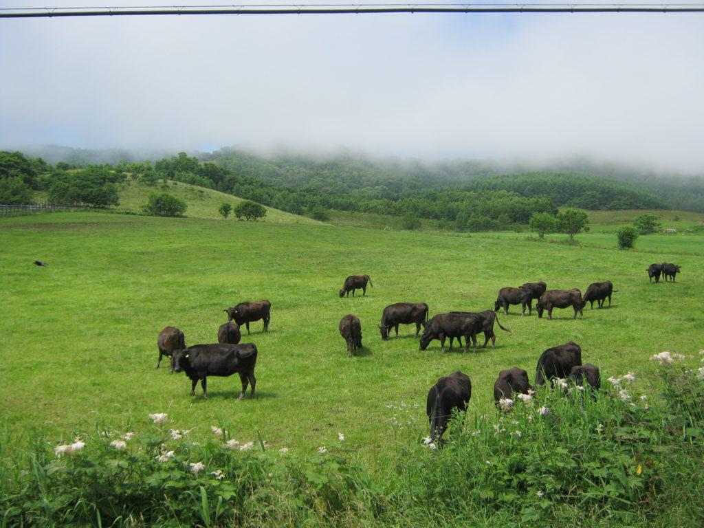 北海道の放牧された牛たち。