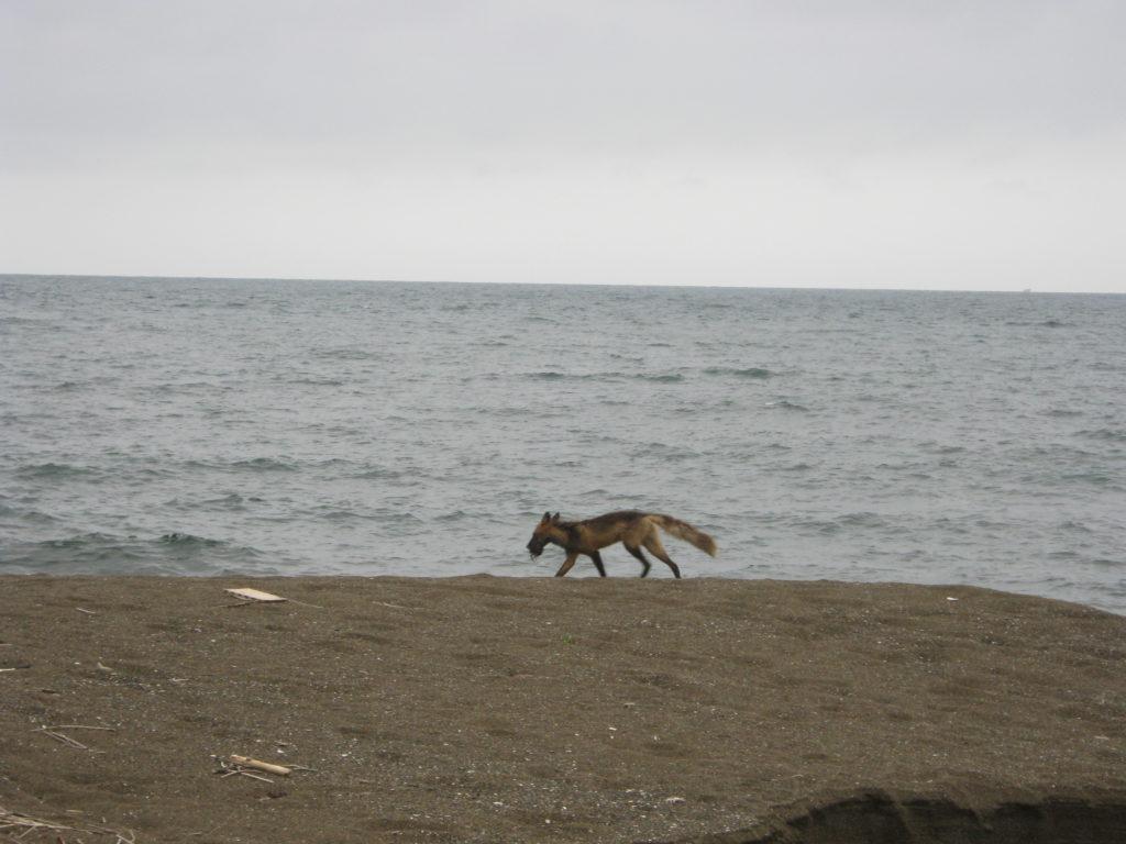 海の浜でキツネに遭遇。