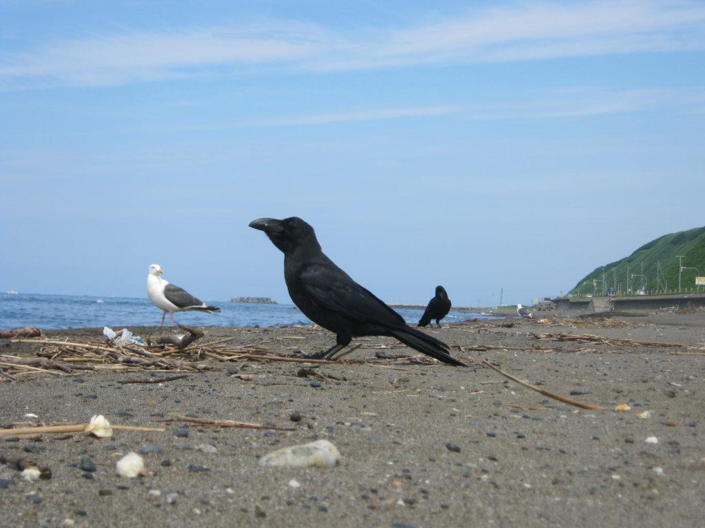 海辺で、カラスとカモメに遭遇。