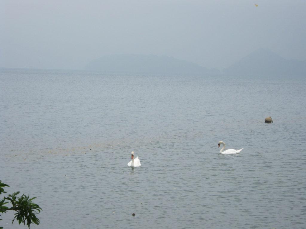 洞爺湖で白鳥らしき鳥を発見。