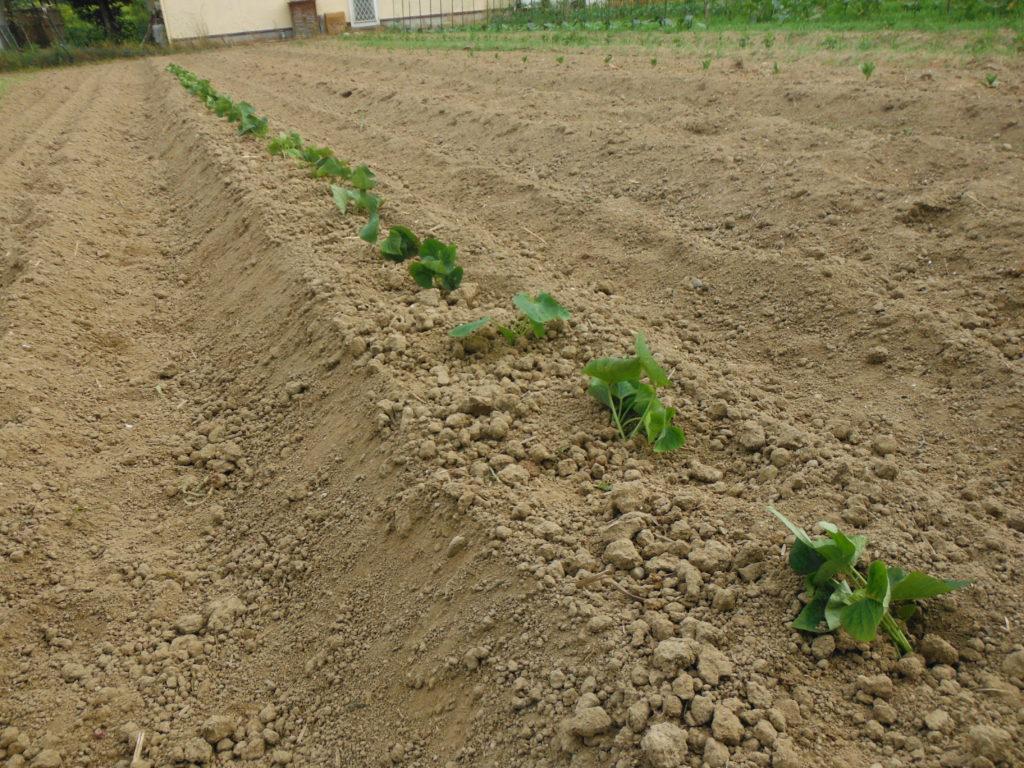 サツマイモの植え付け。