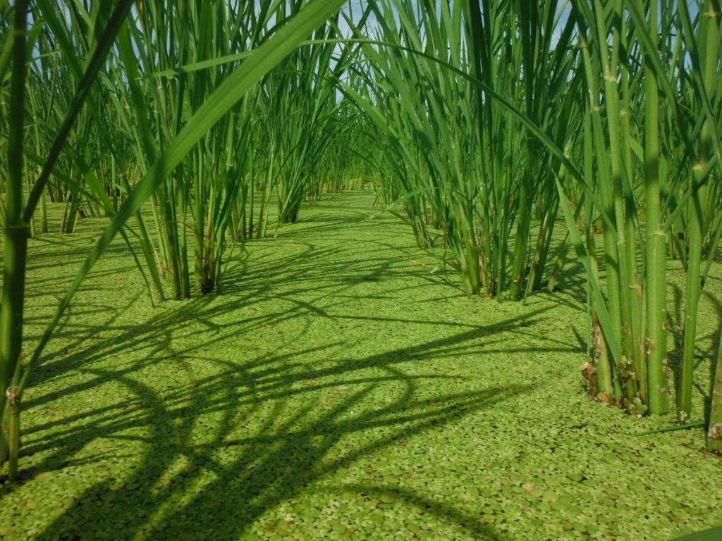 7月の稲の様子、浮草マルチ。