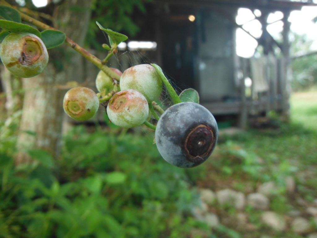 ブルーベリーの収穫。