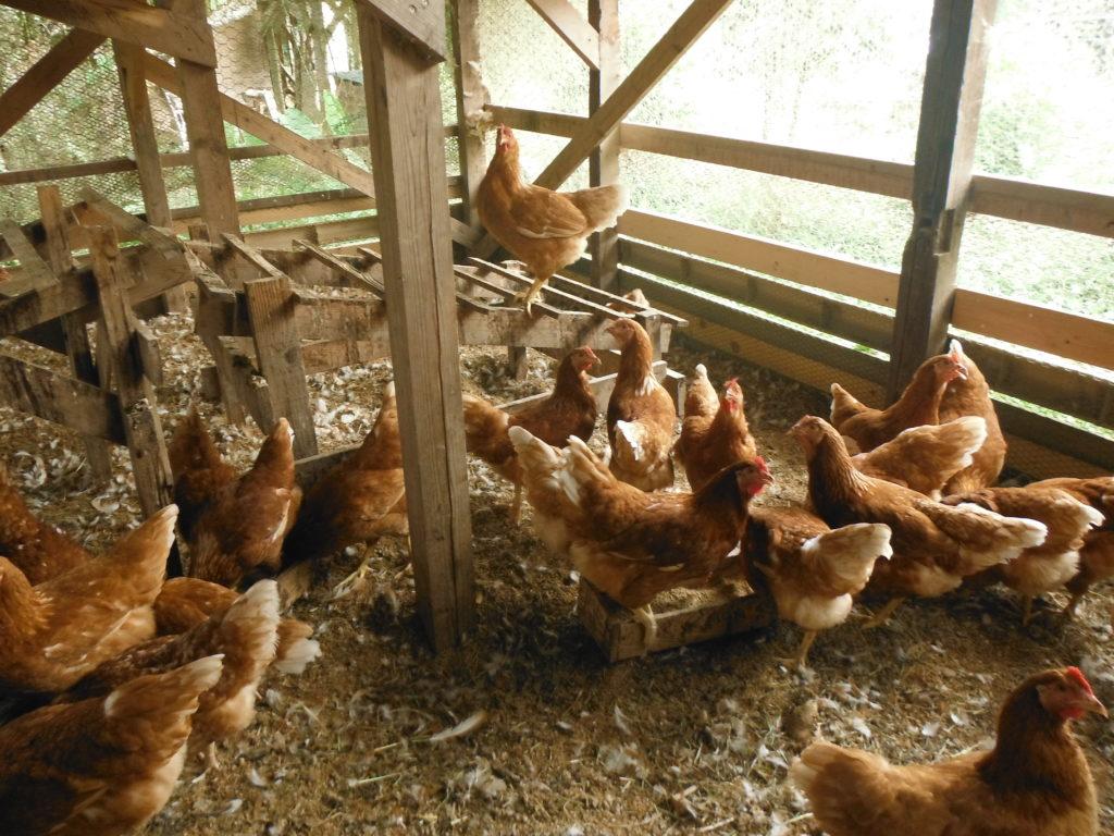 170日齢くらいの鶏たち。