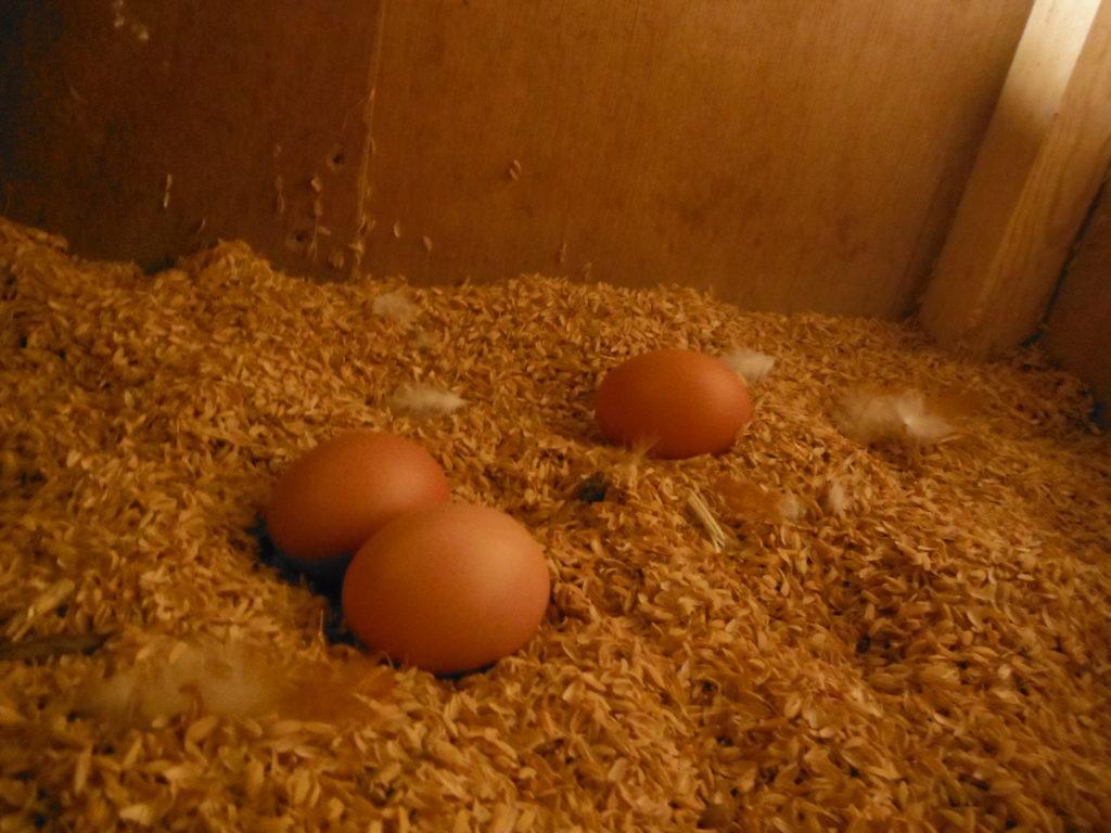 初卵(ういらん)を発見。
