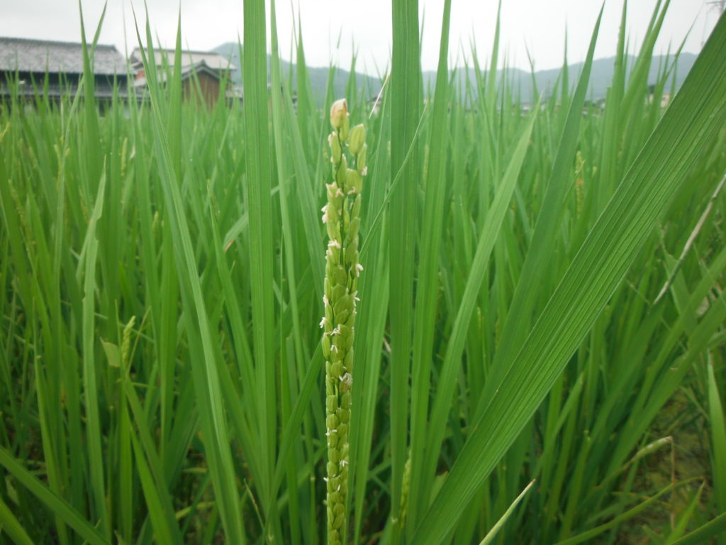 稲の出穂し始め。