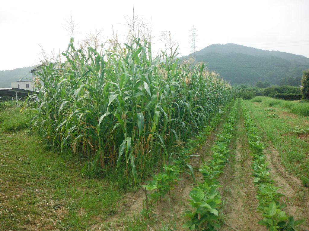 サイレージ用に栽培したトウモロコシ。