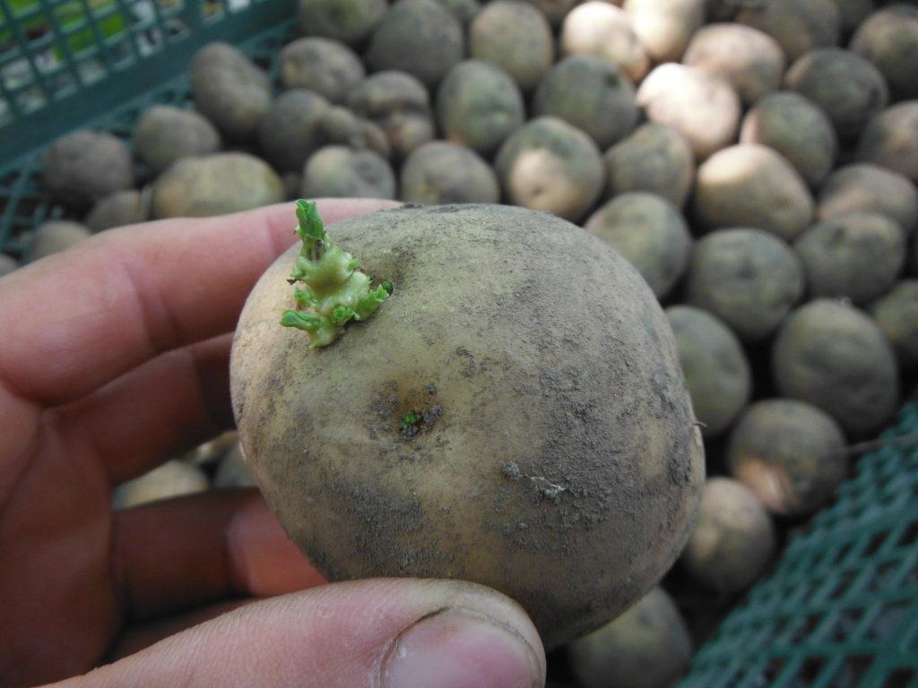 ジャガイモの植え付け。