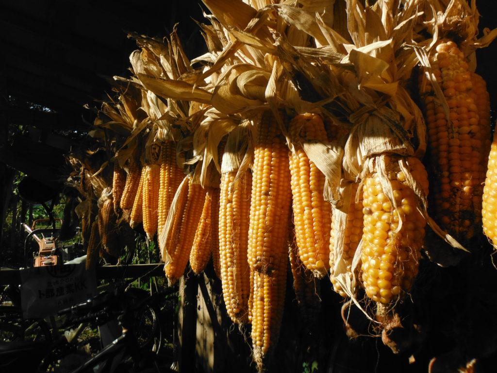 甲州トウモロコシを収穫して乾燥させる。