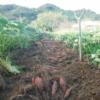 サツマイモの栽培。