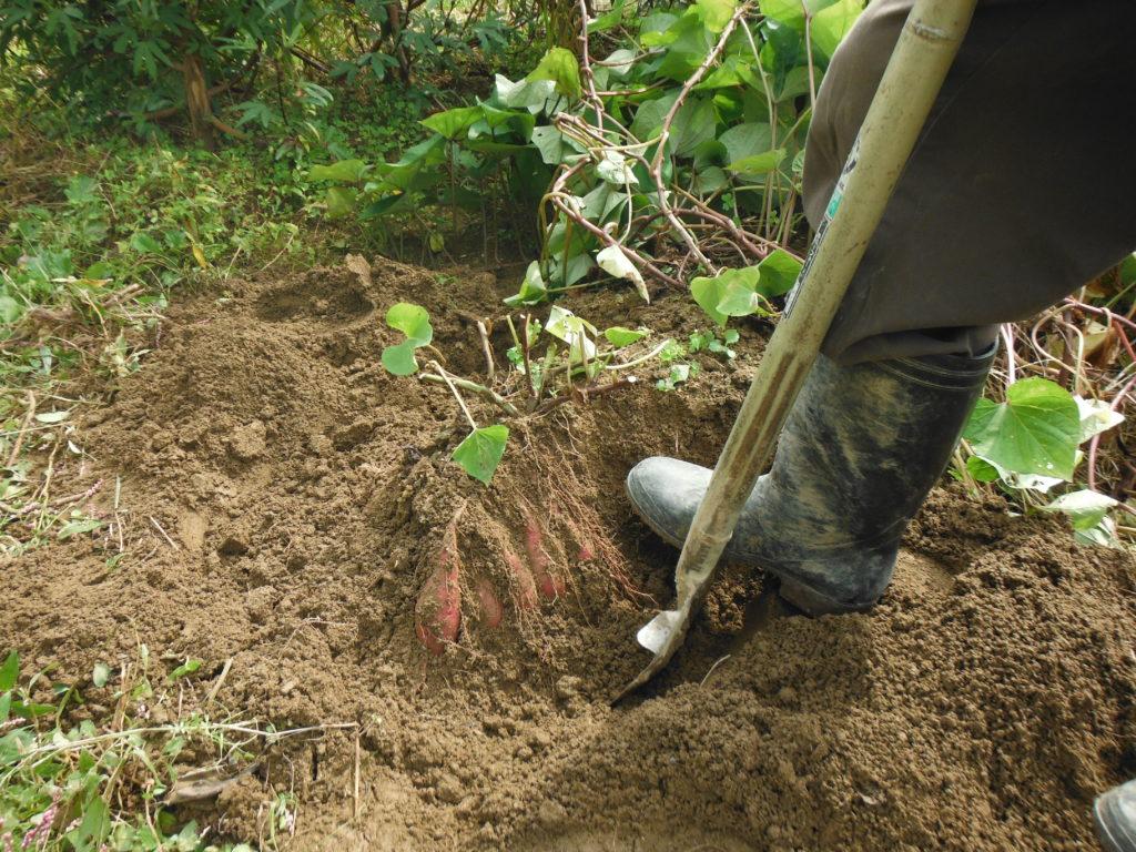 サツマイモをスコップで掘り上げる。