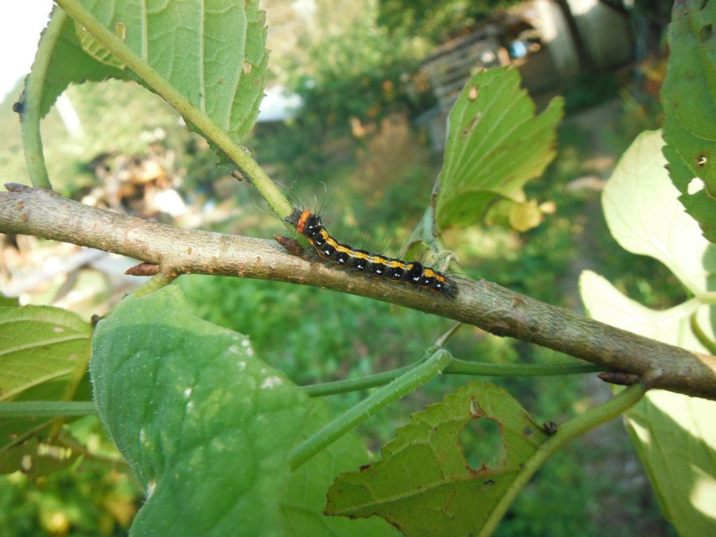 リンゴケンモンの幼虫。