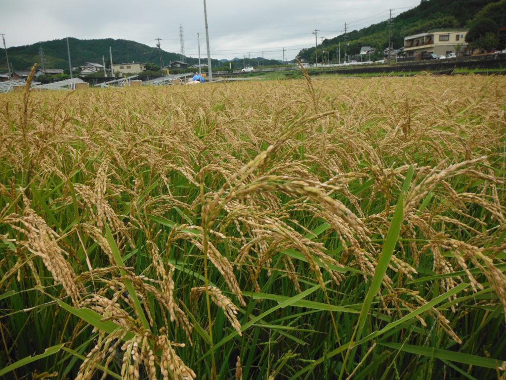 9月の稲の様子。