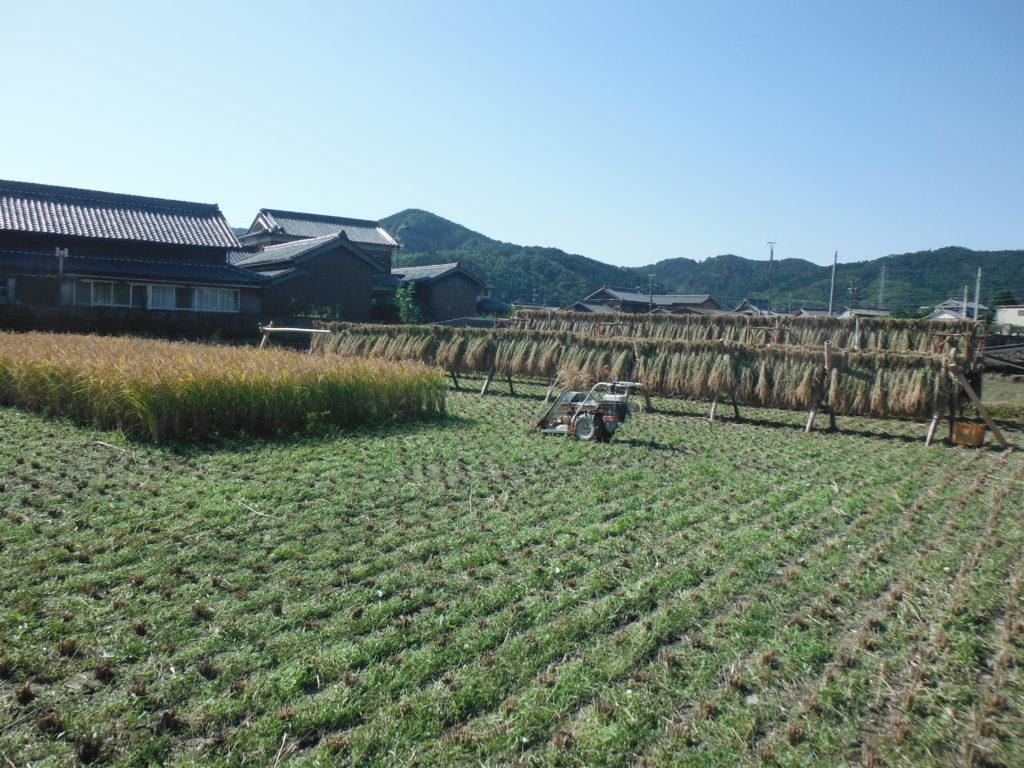 バインダーで稲刈り。