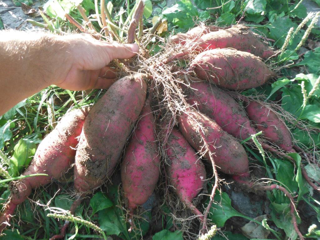 サツマイモの収穫。