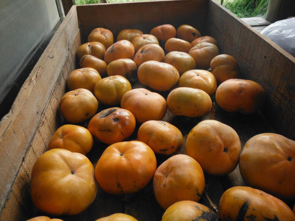 柿の自給自足。