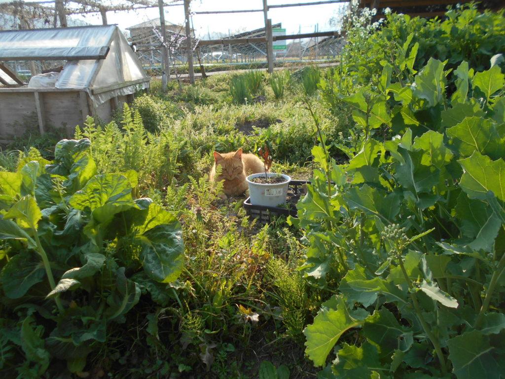 菜園で休む猫のあずき。