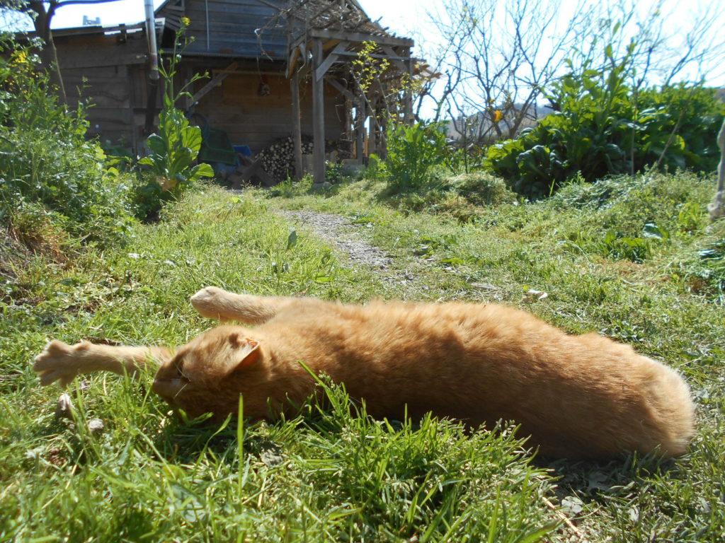 農園の裏庭で、寝転がる茶トラ猫。