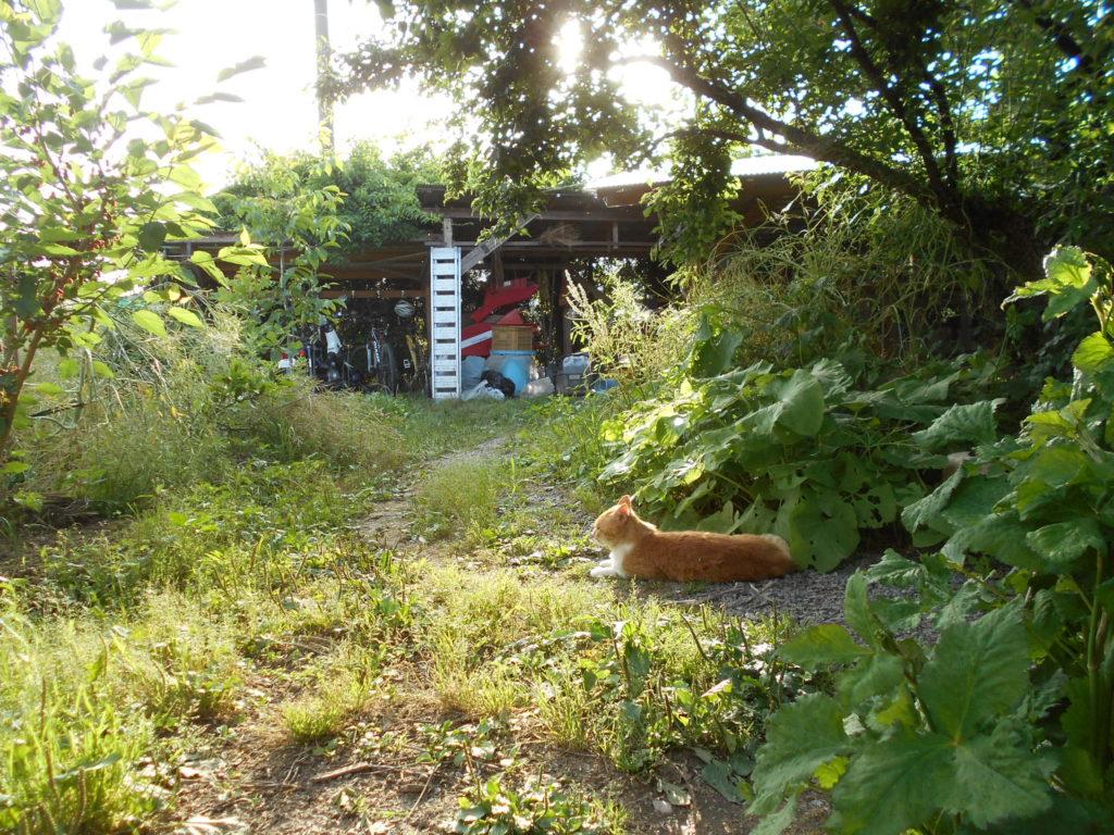 裏庭の小梅の木の下で休む茶トラ白猫。