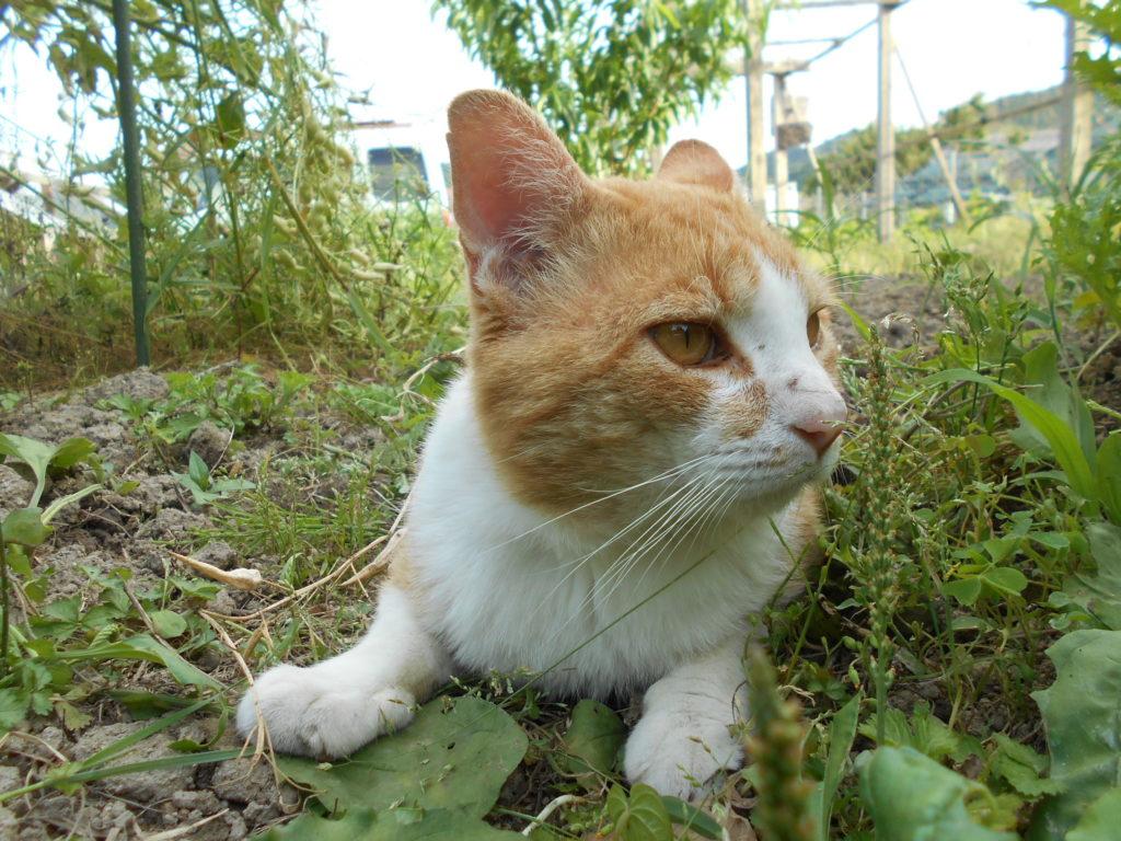 菜園で休む猫のぢん。