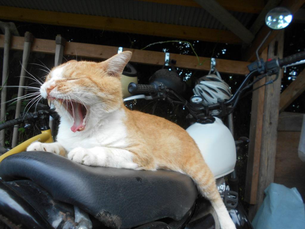 バイクの上であくびをする猫の画像。