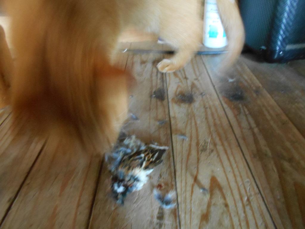 スズメを捕まえてきた猫。