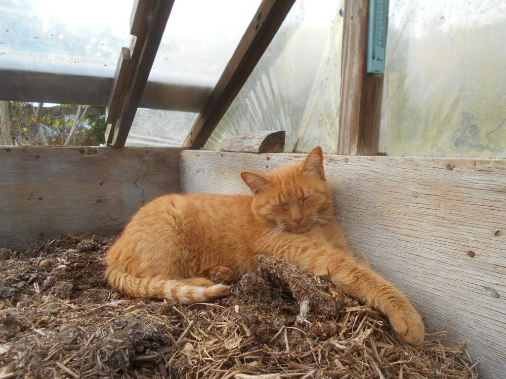 温床ハウスで眠る茶トラ猫のあずき。
