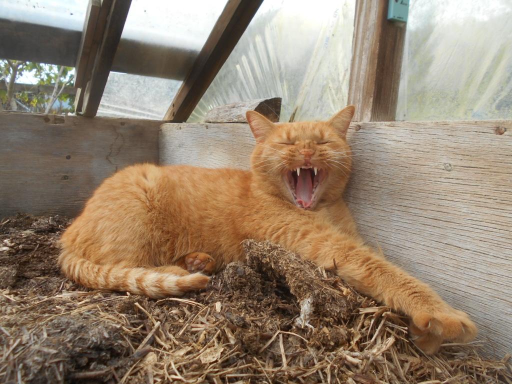 茶トラ猫あずきのあくび画像。