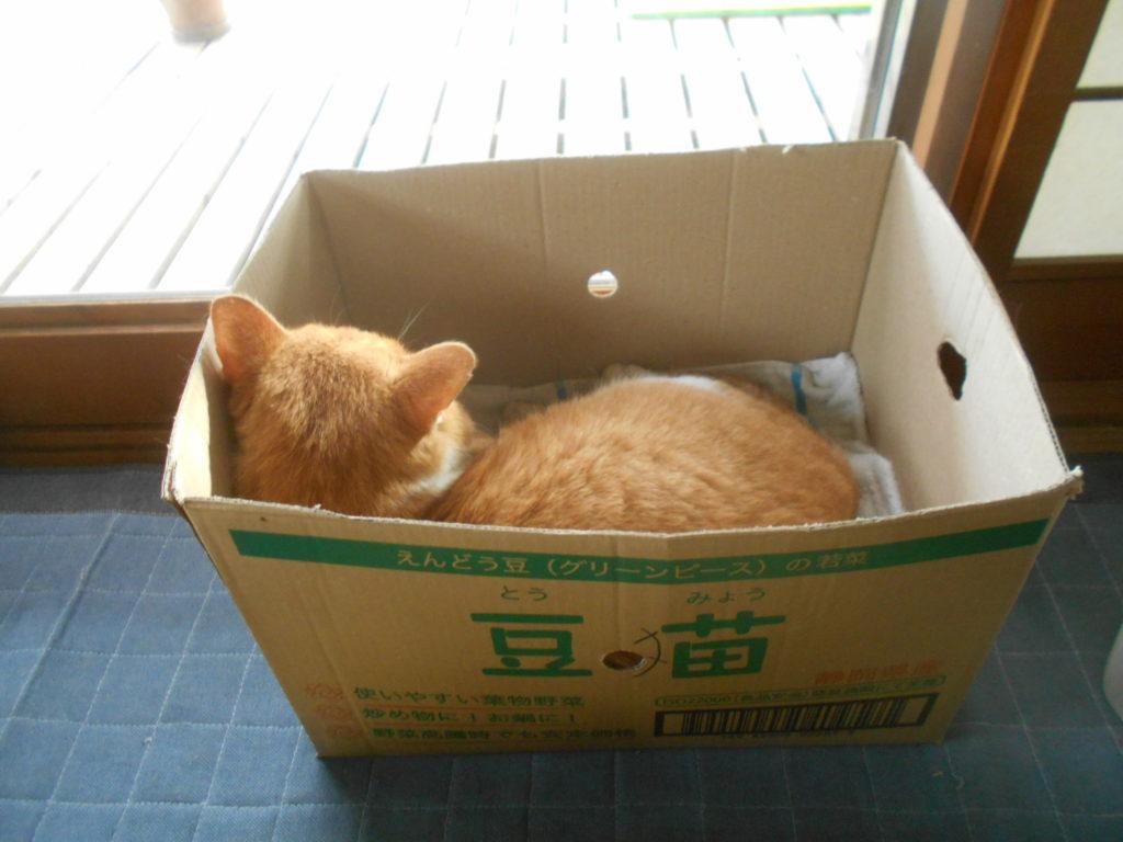 段ボールに入って休む猫のぢん。