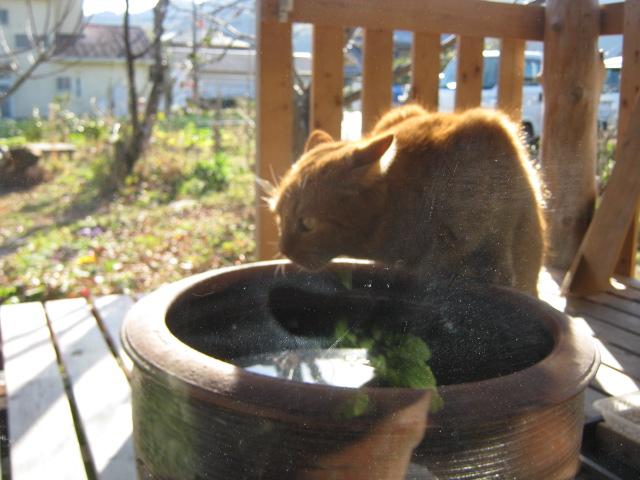 メダカのスイレン鉢の水を飲む猫のあずき。