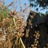 紫蘇の自家採種。