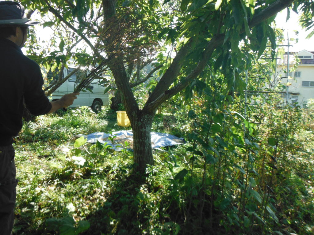 紫蘇の種を散布する。