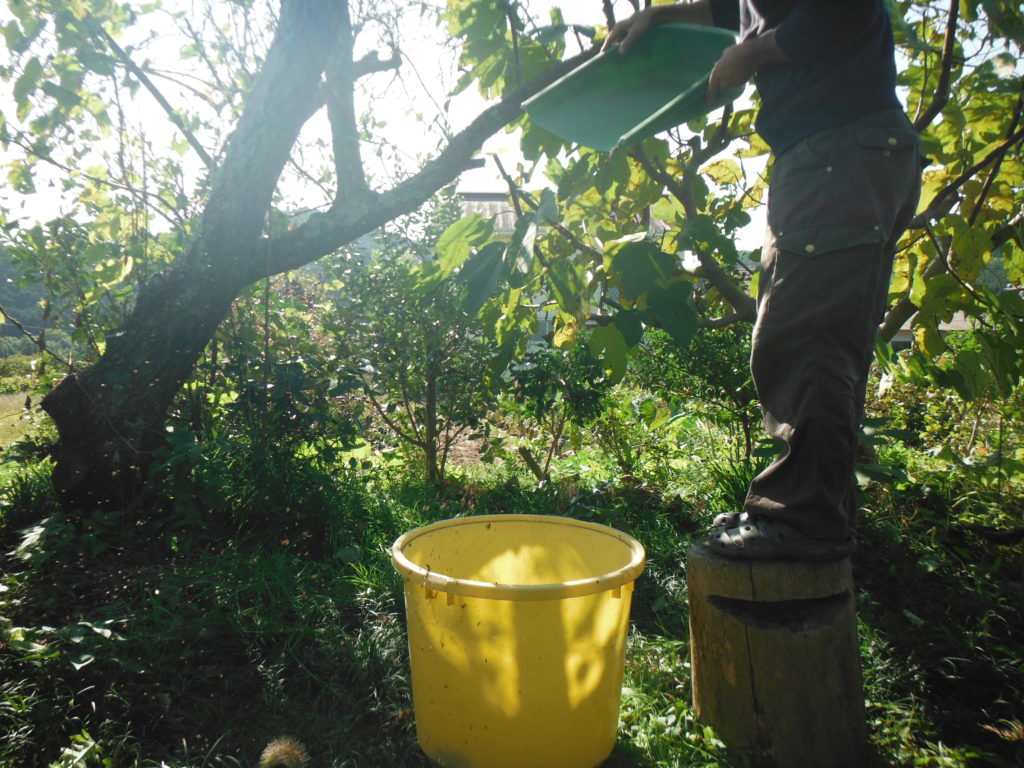 紫蘇の種を上から落とす。
