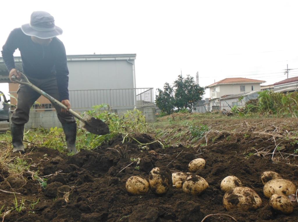 ジャガイモの収穫。