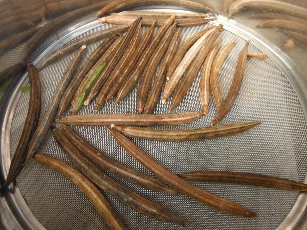 モロヘイヤの鞘をフルイで乾燥させる。