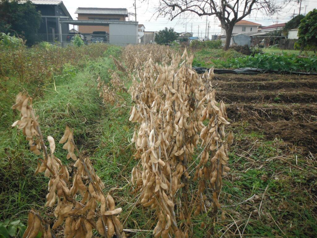 カラカラになった大豆。