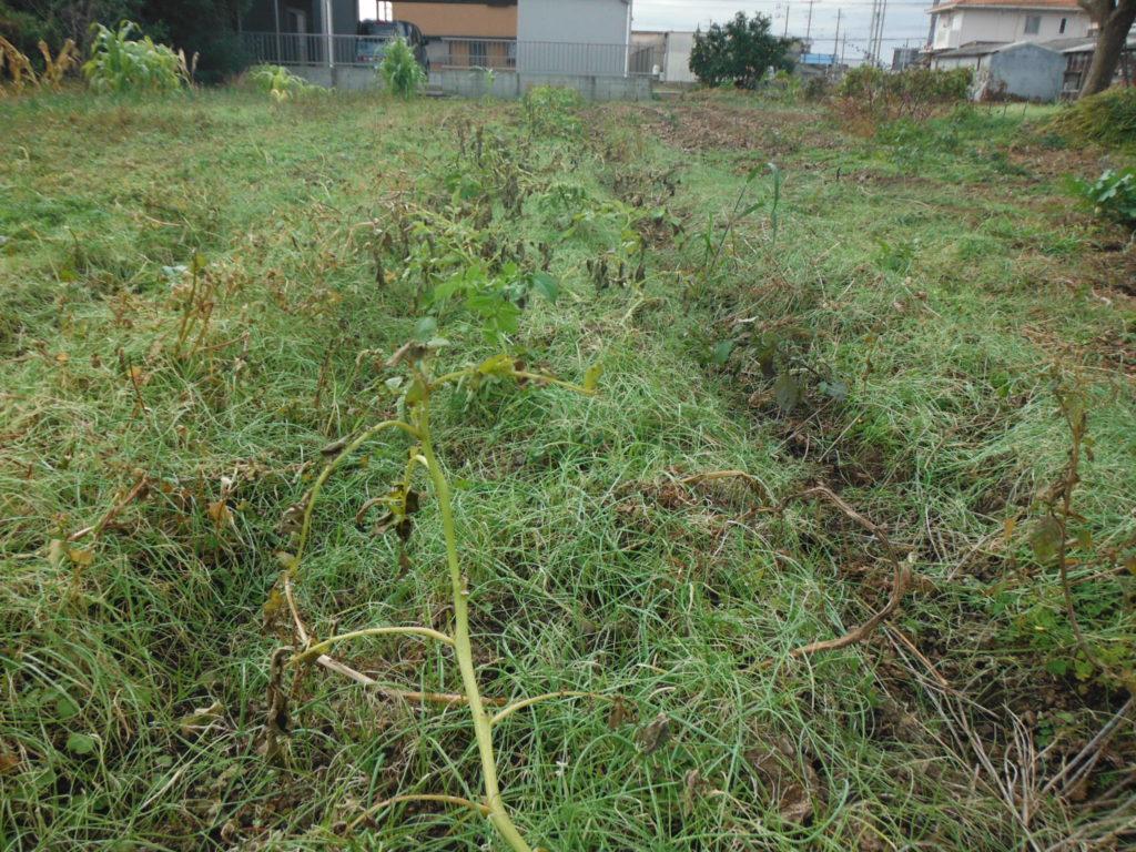 ジャガイモの茎が枯れてくる。