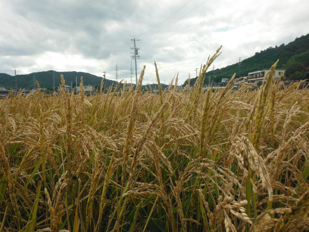 2020年のお米は不作だった。