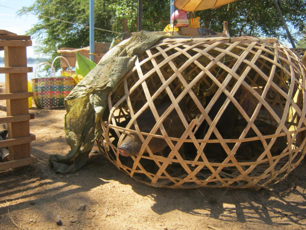 竹籠に黒豚。