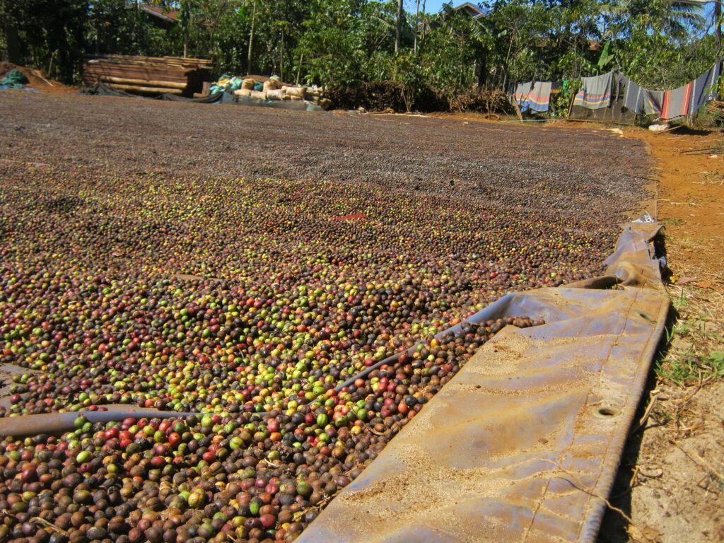 コーヒー豆を干している所。