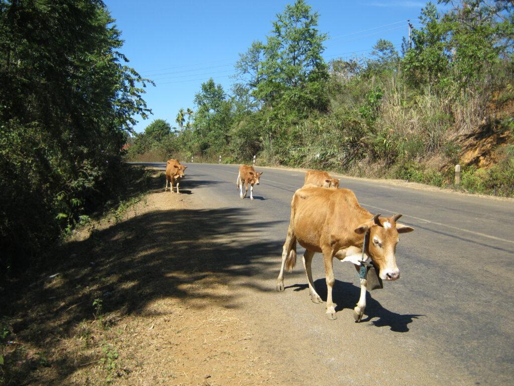 道端で歩く牛を発見。
